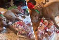 Protective Pitbull Dog Gently Watches Over Newborn Babies