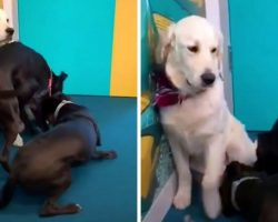 Service Dog Stood In A Corner And Didn't Know How To Behave Around Other Dogs