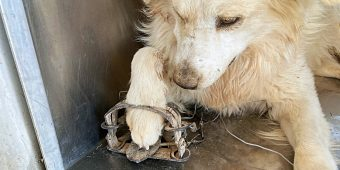 Lost Pup Gets His Foot Caught In Illegal Trap While Trying To Find His Family