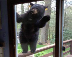 Bears Breaking In: Fascinating How Smart Bears Are!