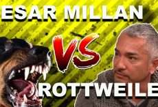 "Cesar Millan: How To Use The ""Redirection Method"" To Calm An Overprotective Rottweiler"