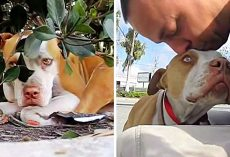 Shy Homeless Pit Bull With A Broken Leg Hides Under A Bush On Side Of The Road
