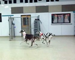 Dogs Hear Door Open – When They See Who It Is, They Eagerly Race Toward It