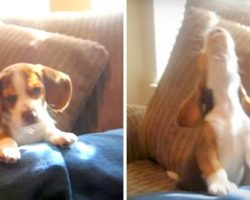 Tiny Beagle Discovers He Can Howl, Adorably Shows Off His Skills For The Camera