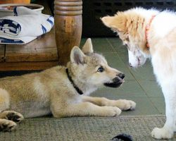 Wolf Pup And Border Collie Meet For The First Time – Have The Cutest Playdate