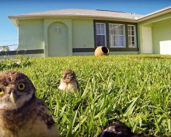 Pair Of Curious Owls Discover A Camera – Put On A Show With Epic Dance-Off