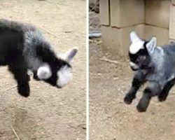Baby Goat Dances Like No One's Watching, His Cute Dorky Moves Will Win You Over