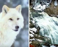 Scientists Boggled At How Wolf Pack Managed To Change The Face Of A Dying Forest