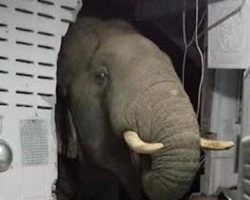 Elephant Breaks Through The Wall To Look For Something Good To Eat