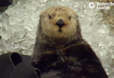 This Is What Happens When An Otter Eats Ice Cubes Too Fast