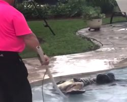 Mom Scans Backyard Before Letting The Dogs Out, Sees Alligator In The Pool