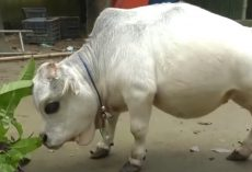 The World's Smallest Cow Is The Size Of A Small Dog