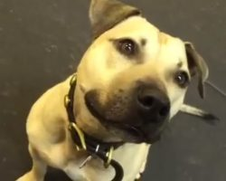 """Pit Bull Rescued From Fighting Ring Is Given His First Snack, And """"Lost"""" His Mind"""