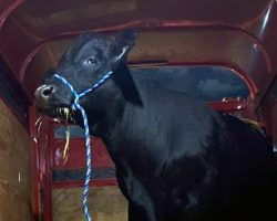 Bull Who Escaped Slaughter And Have Been On The Run For 2 Months Finally Caught