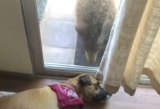 Napping Dog Wakes Up To Unannounced Guest At The Door