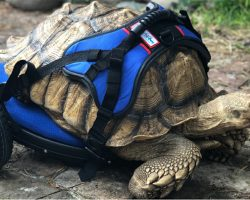 Disabled 70-Pound Tortoise Can Move Comfortably Again Thanks To His Very Own Wheelchair