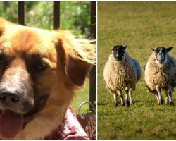 Missing Dog Who Ran Away After Car Crash Found On Farm Herding Sheep