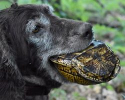 Specially Trained Hunting Dogs Sniff Out Rare Turtles… Not To Eat But To Save