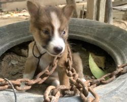 Evil Owner Chains Tiny Puppy Outside As Punishment For Biting One Of The Chickens