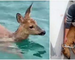 Fishing Boat Captain Rescues a Baby Deer He Shockingly Found Half a Mile Out To Sea