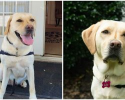 Funeral Home Introduces New Staff Member – 'Bereavement Care Dog,' To Provide Comfort To Grieving Families
