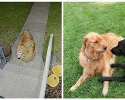 Gentlemanly Neighbor Pup Patiently Waits at Door to Ask Out His Girlfriend