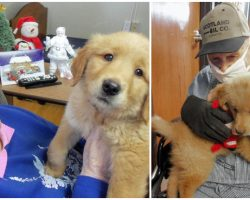 Golden Retriever Puppy Brings Joy And Comfort To Nursing Home Residents