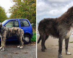 Here's 27 Hilarious Photos Of Irish Wolfhounds, And It's Insane How Big They Are