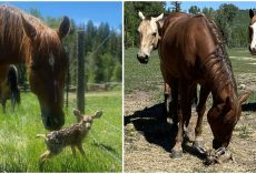 Horses Look After Baby Fawn Protecting Her From Predators While Her Mother Is Away