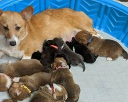 Rescue Corgi Mom 'Adopts' Orphaned Pit Bull Puppies As Her Own