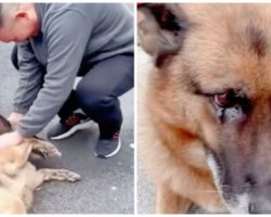 Retired German Shepherd Police Dog Gets Emotional At Reunion With Former Handler