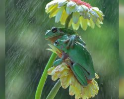 Photographer Captures Photo Of Two Frogs Sharing A Sweet Hug In The Rain