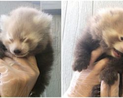 Zoo Celebrates Birth of Adorable Twin Baby Red Panda Cubs, Part of Endangered Species Recovery