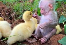 Baby Monkey Helps Dad Take Care of Baby Ducklings Like Family