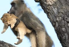 Baboon Adopts and Grooms Lion Cub In Kruger National Park
