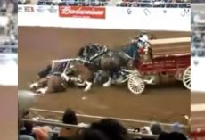 Clydesdales Tumble And Pile Up In The Middle Of A Show, And The Crowd Gasps In Unison