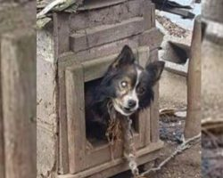 Blind Dog Chained For 13 Years Gets To Live His Golden Days In Freedom