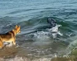 Curious Dolphin Swims Close To Shore And Plays With Dog