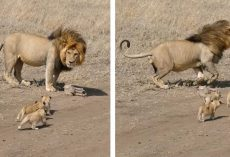 Lion Dad Tries To Ditch His Kids