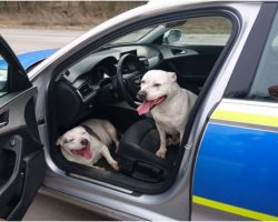 Lost Dogs Rescue Themselves By Finding A Police Car & Hopping Inside