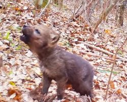 The First Howls of a Wolf Pup Caught On Traffic Camera